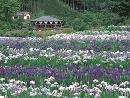 奈良県花の郷滝谷花しょうぶ園
